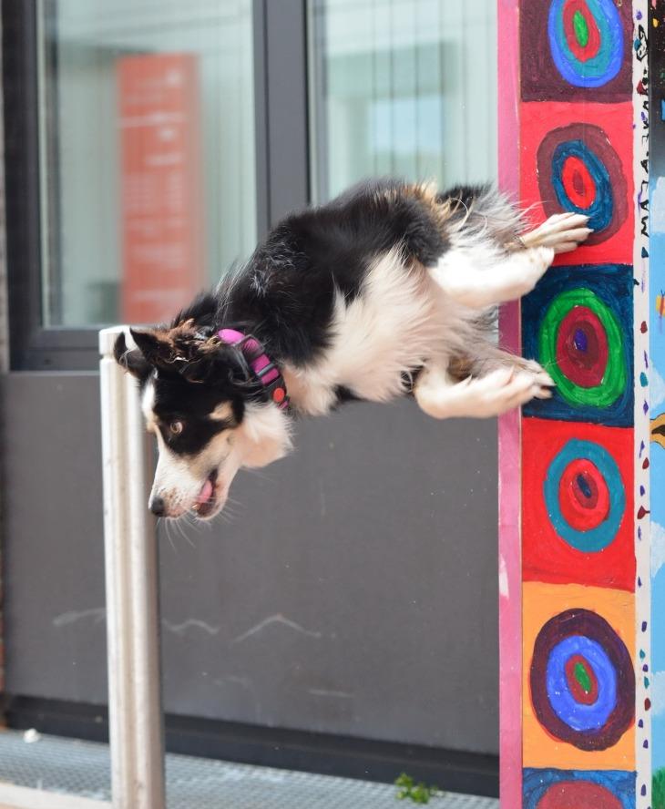 dog jumps on wall