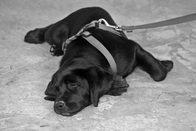 labrador drag leash