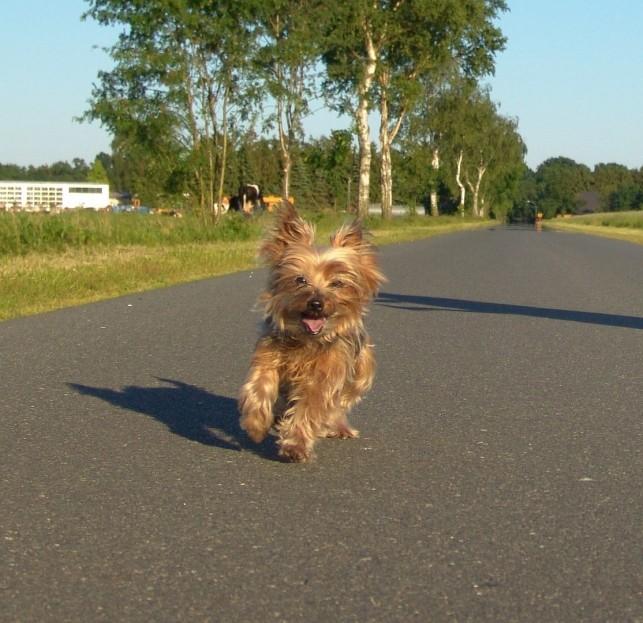 Yorkie run road