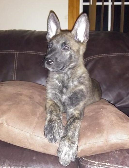 Loki_pup